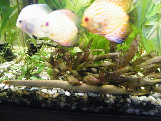 Erpetoichthys calabaricus 2009_0815maxipoissons30001