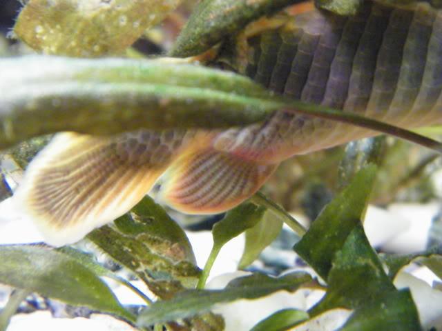 détails morphologiques chez erpetoichthys calabaricus 2009_0821fish0011
