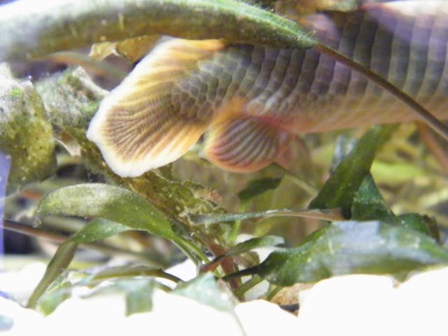 détails morphologiques chez erpetoichthys calabaricus 2009_0821fish0014