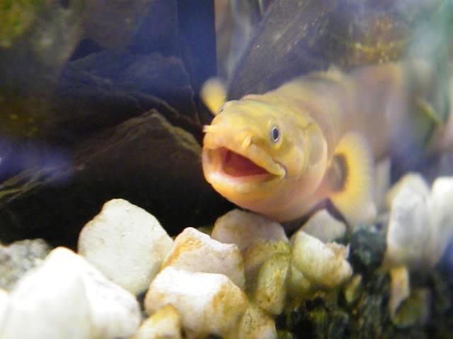 détails morphologiques chez erpetoichthys calabaricus 2009_0821fish0024