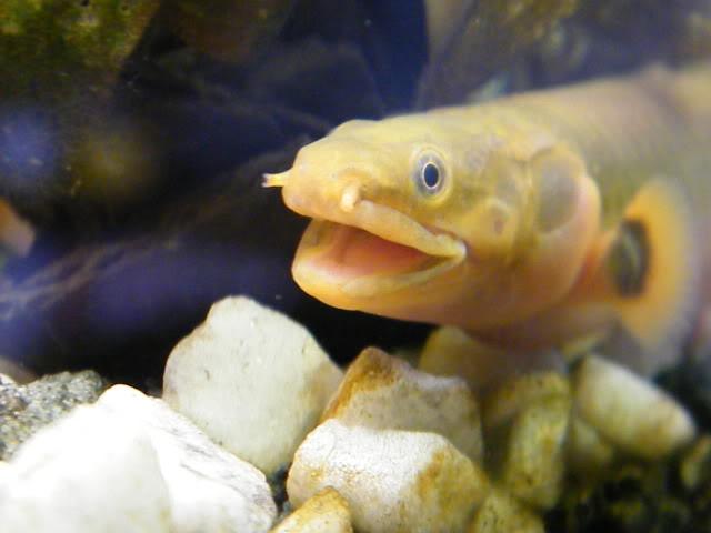 détails morphologiques chez erpetoichthys calabaricus 2009_0821fish0029