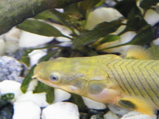 détails morphologiques chez erpetoichthys calabaricus 2009_0821fish0049