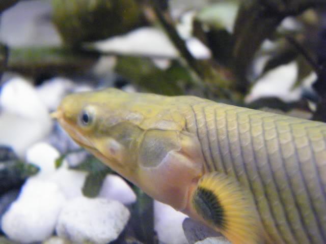 Erpetoichthys calabaricus 2009_0821fish0051