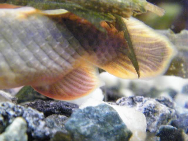détails morphologiques chez erpetoichthys calabaricus 2009_0821fish0054