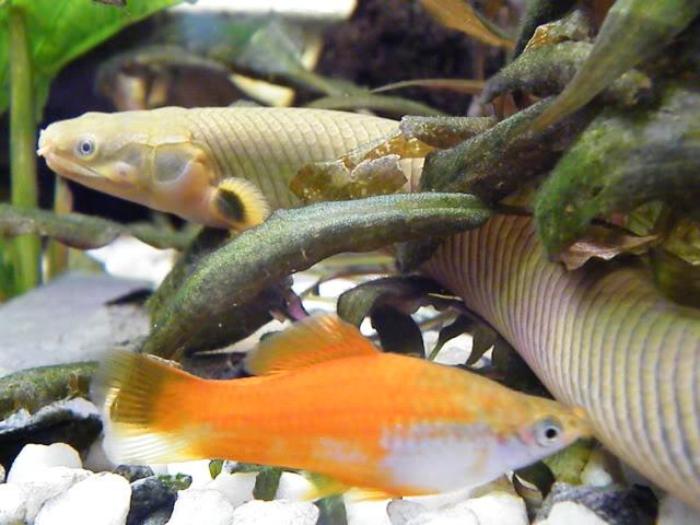 détails morphologiques chez erpetoichthys calabaricus 2009_0821fish0060