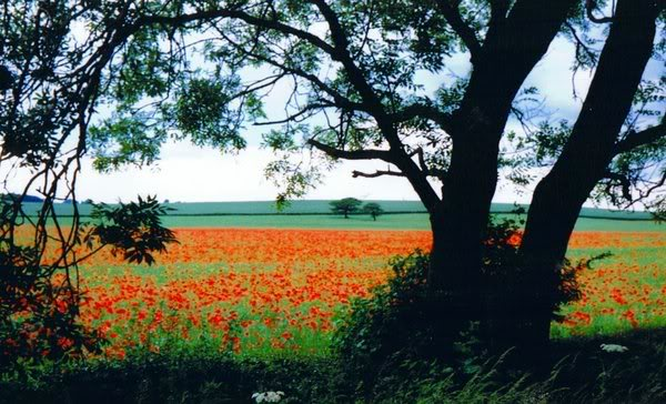 some of my artistic shots of wakefield Poppies_by_incredulous2