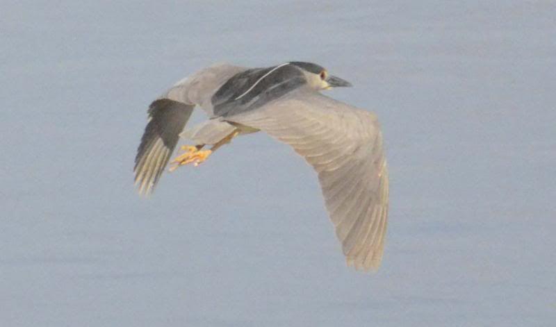 Bihoreaux gris (bis) Bihorneaumalevol2