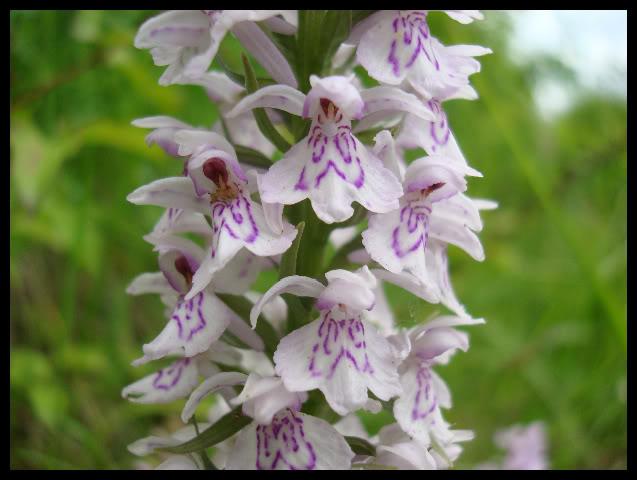Ophrys Bourdon DSC04751