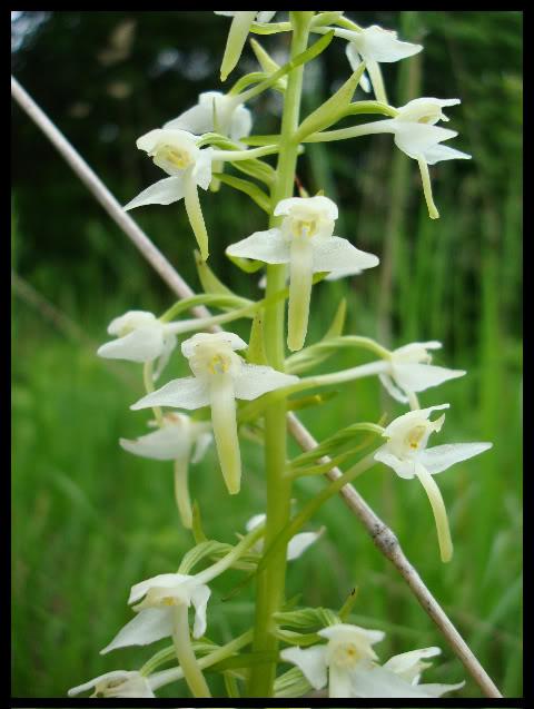Ophrys Bourdon DSC04764