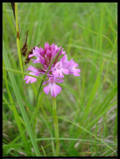 Ophrys Bourdon DSC04796