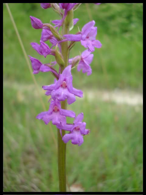 Ophrys Bourdon DSC04805
