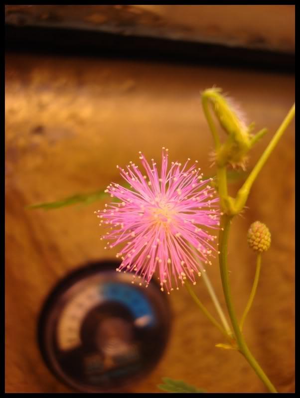 ma première fleur de mimosa pudica DSC05930