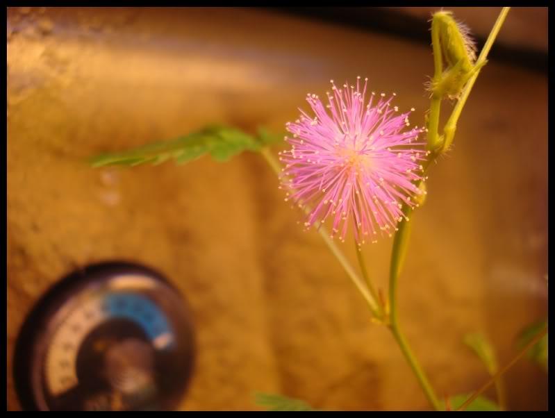 ma première fleur de mimosa pudica DSC05937
