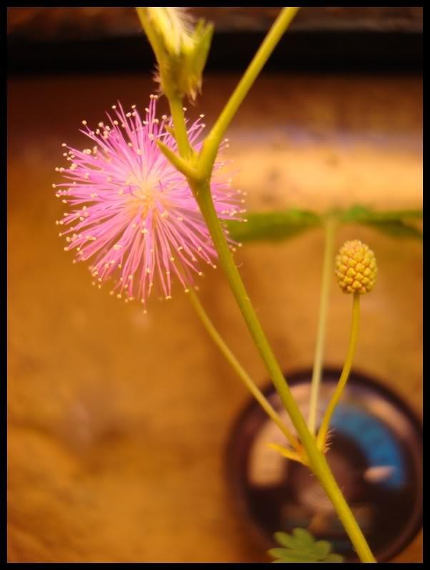 ma première fleur de mimosa pudica DSC05938
