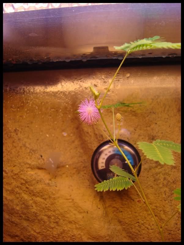 ma première fleur de mimosa pudica DSC05947