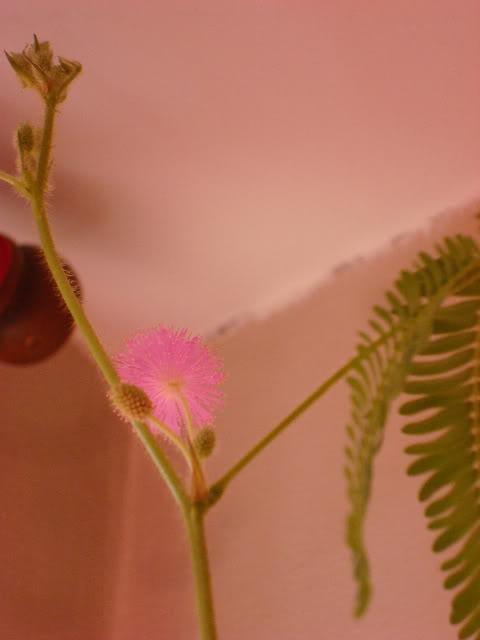 fleur mimosa pudica DSC08347