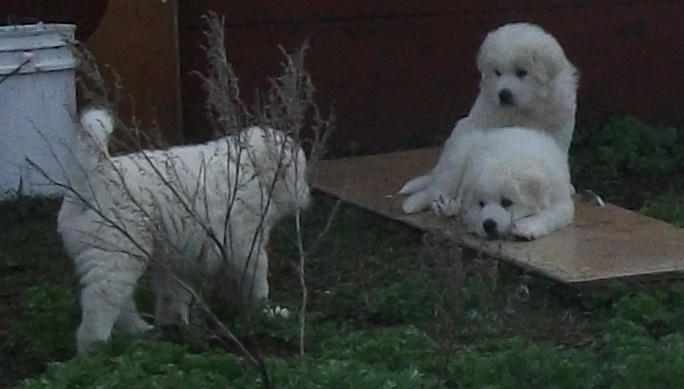Pyrenees Puppy's for sale PHOTOS ADDED Pup1_zps069babbb