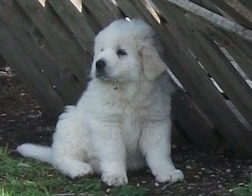 Pyrenees Puppy's for sale PHOTOS ADDED Pup3_zps11669c94