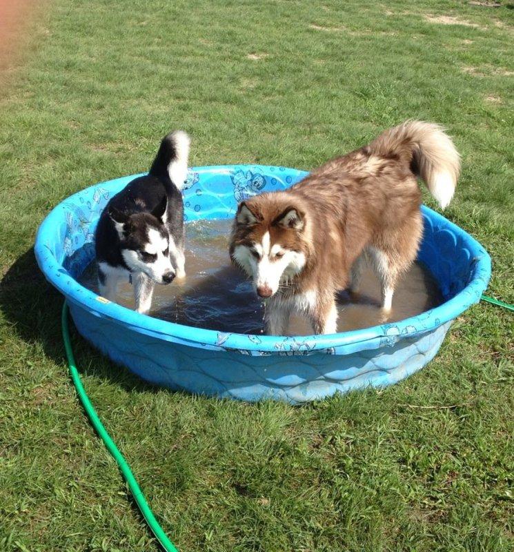 Husky day at the dog park Dogpark-1