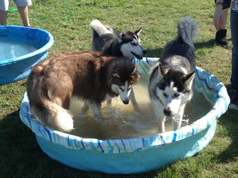 Husky day at the dog park Dogpark2