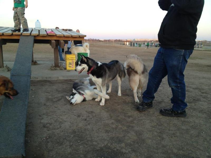 Husky day at the dog park Dogpark3
