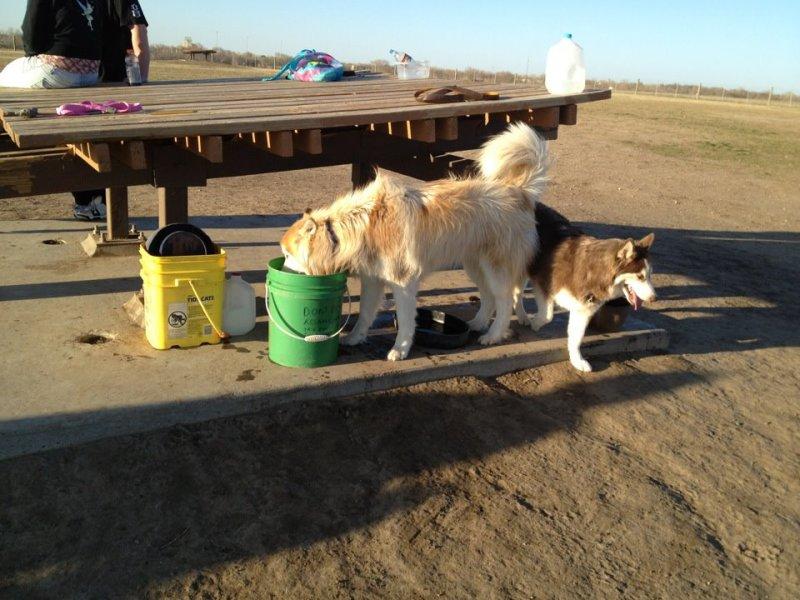 Husky day at the dog park Dogpark4