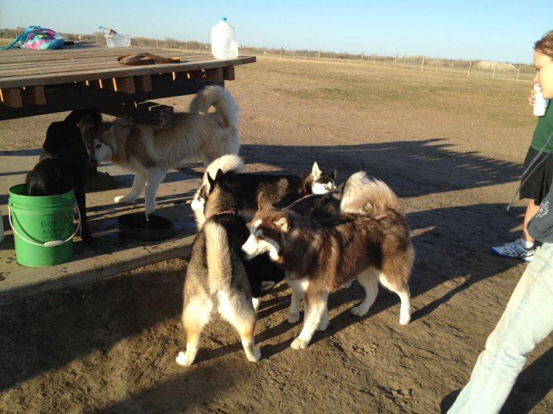 Husky day at the dog park Dogpark5