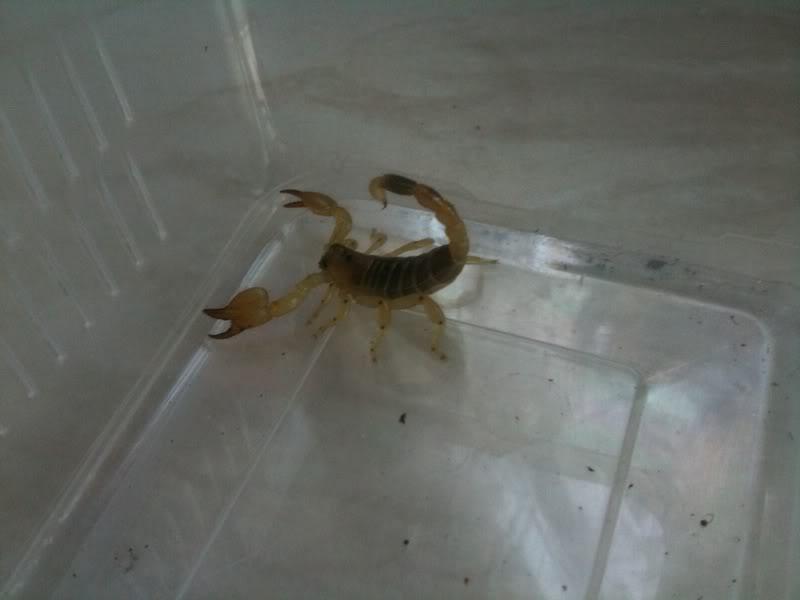 New Scorpio Maurus and Swammerdami   3c6f8d0e