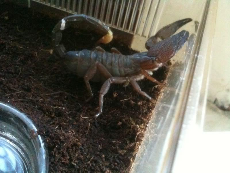 New Scorpio Maurus and Swammerdami   6dc6db0f