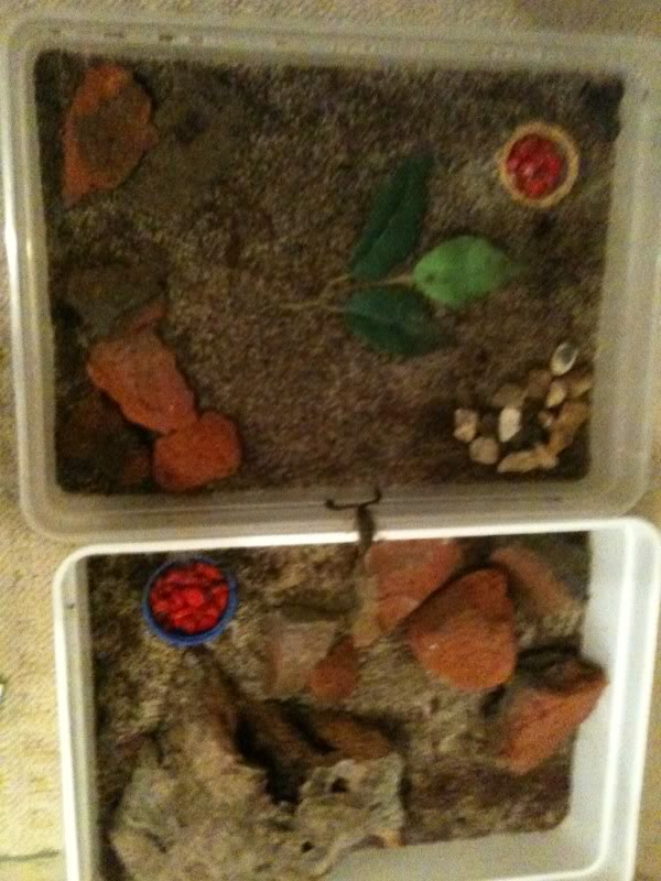 Sheerness scorpions latest check up... Euscorpius flavicaudis Bbdfc784