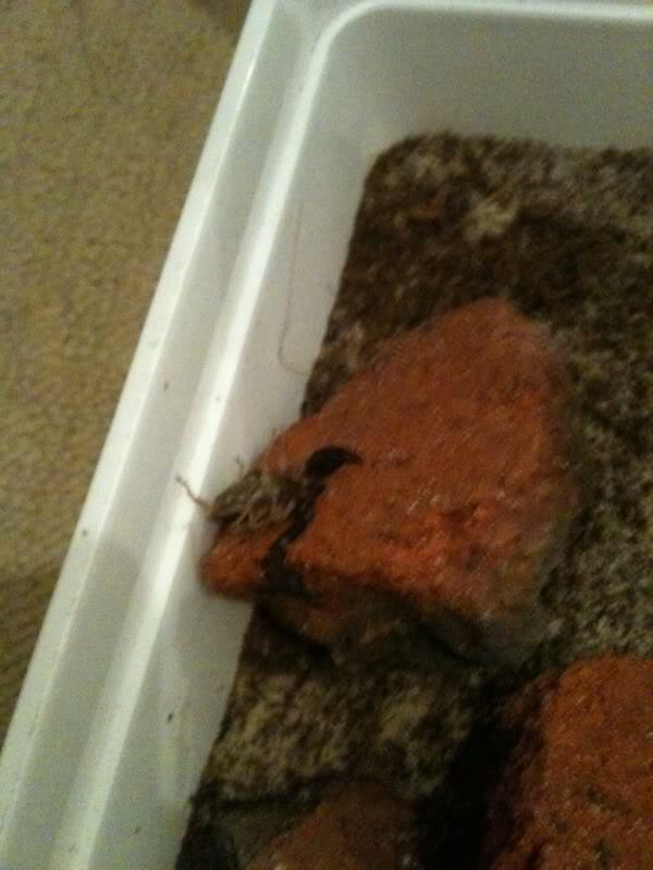 Sheerness scorpions latest check up... Euscorpius flavicaudis C15558ed