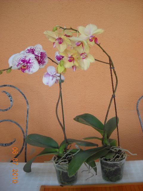 Phalaenopsis - Page 2 DSCN1678-2