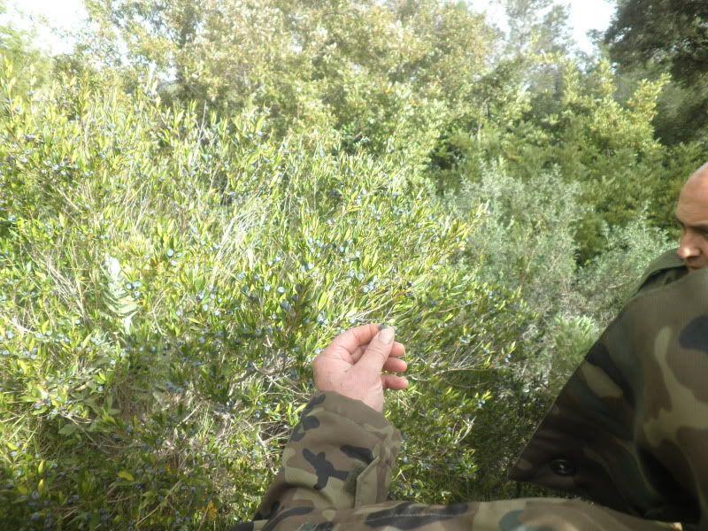 Mirto  (Myrtus communis) P2190040