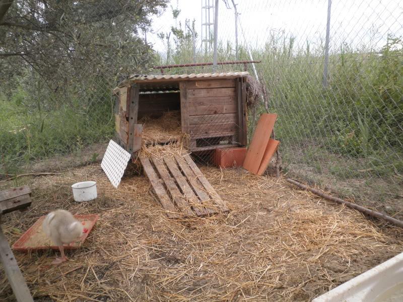 Los habitantes del gallinero. P4300031