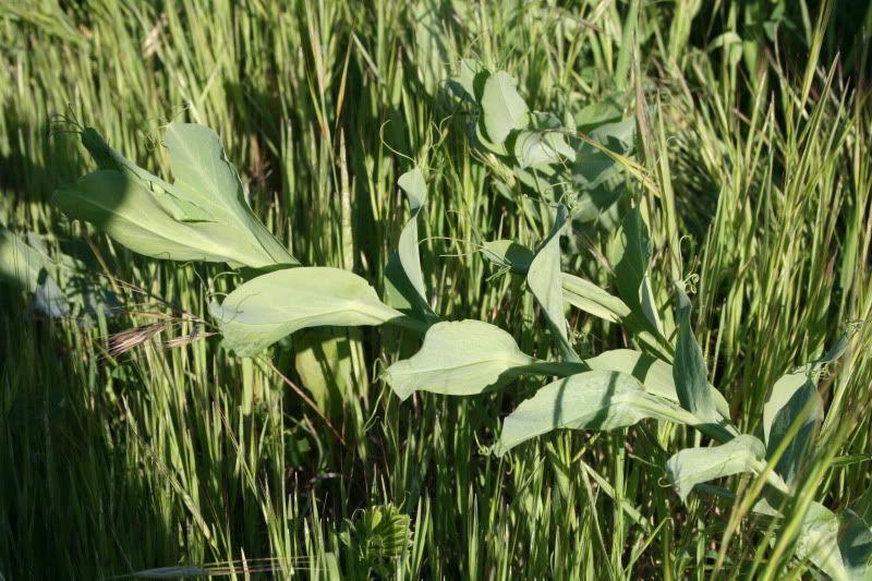 Ayuda identificando planta. IMG_8902