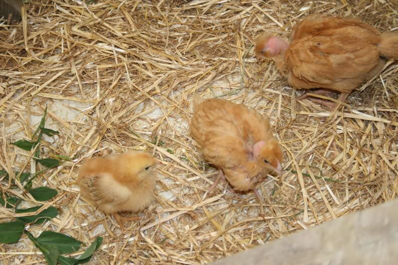 Los habitantes del gallinero. IMG_8930