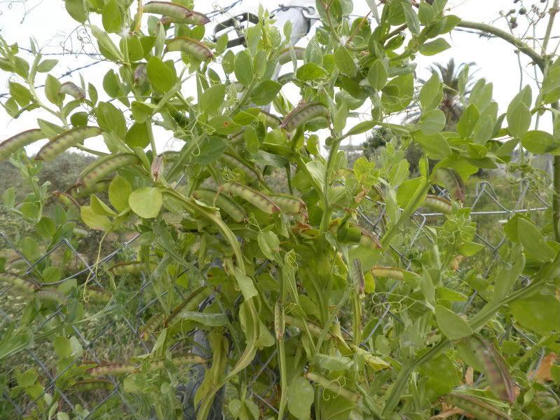 Ayuda identificando planta. P4200021