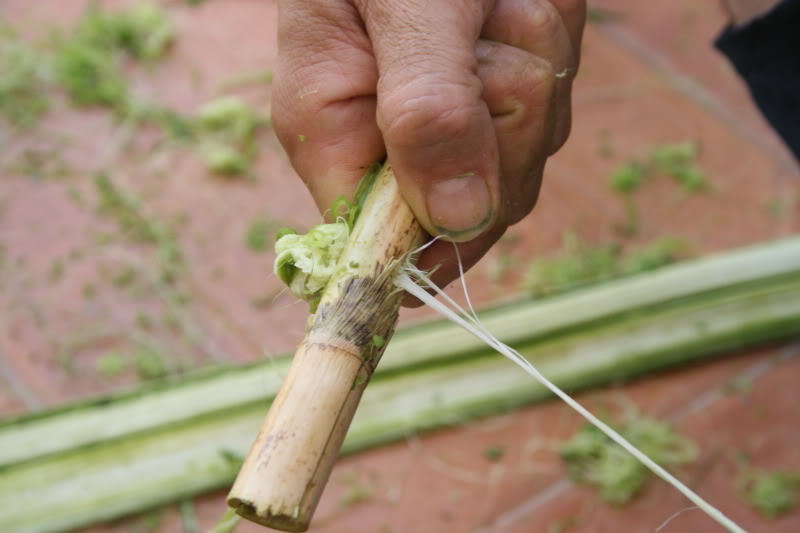 Extracción de fibra de pita Caa