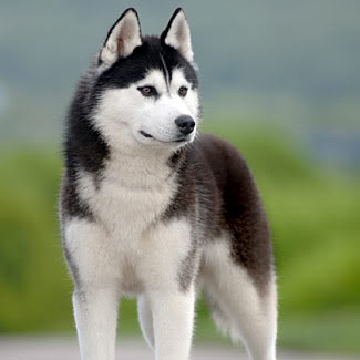 Kimiko's Dæmon Siberian-husky-fb