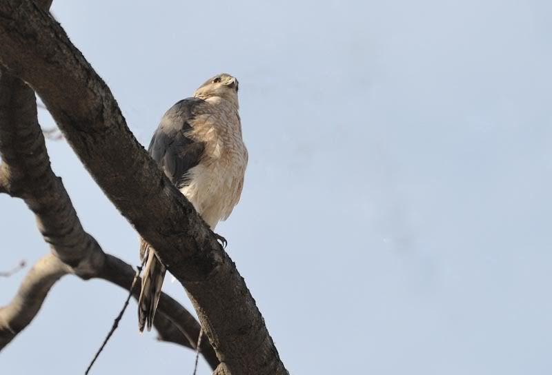 A mon tour.... brun ou Cooper...? Bird