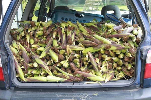Corn, Corn , Corn IMG_6824-R_zps4553515d