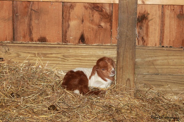 My Grand Baby Goat -R_zps5ccce21a