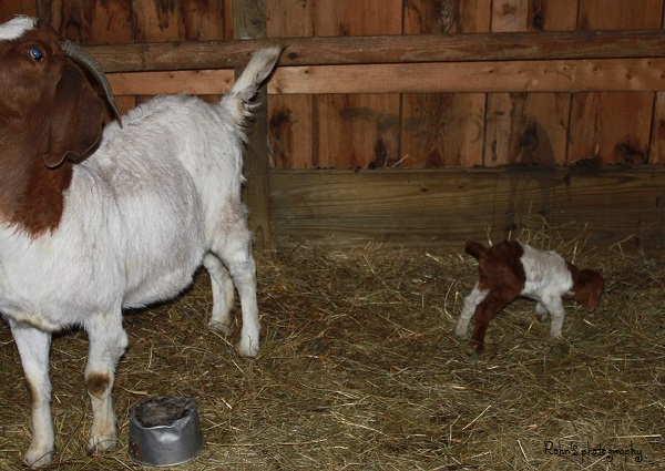 My Grand Baby Goat IMG_5633-R_zps9329f7a0