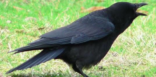 சிறுவர்களுக்கான பாடல்கள்--  துள்ளி ஓடும் மான்  Crow
