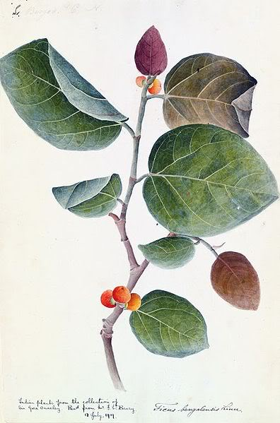குறிஞ்சிப்பாட்டில் 99 மலர்கள்:பட்டியல் நிறைவு பெற்றது ! 396px-Banyan_botanical_c1800-1830