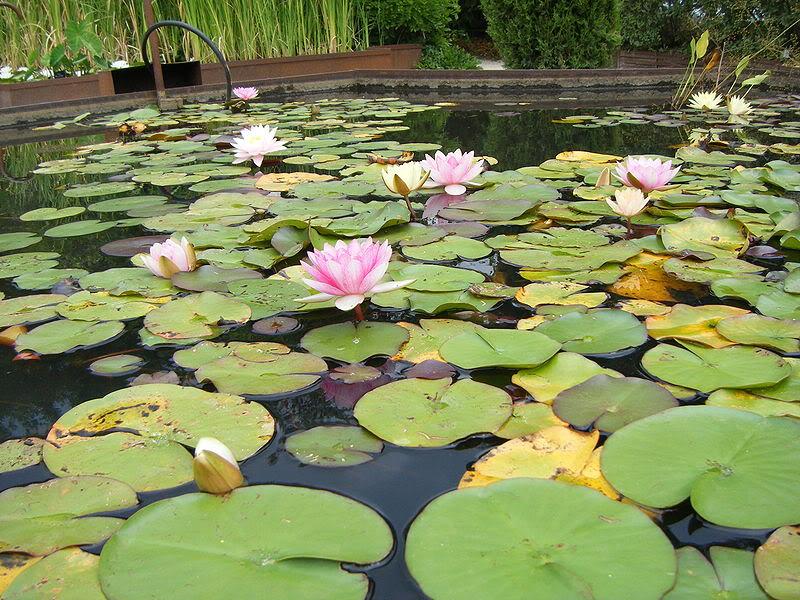 குறிஞ்சிப்பாட்டில் 99 மலர்கள்:பட்டியல் நிறைவு பெற்றது ! - Page 4 800px-Fleurs-lotus