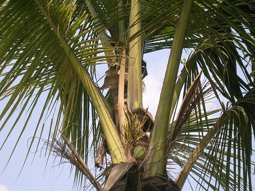 குறிஞ்சிப்பாட்டில் 99 மலர்கள்:பட்டியல் நிறைவு பெற்றது ! - Page 3 Coconut-1