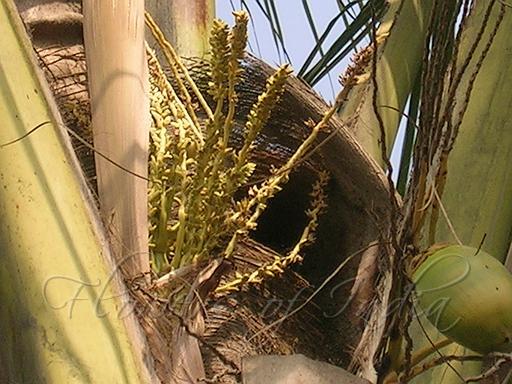 குறிஞ்சிப்பாட்டில் 99 மலர்கள்:பட்டியல் நிறைவு பெற்றது ! - Page 3 Coconut
