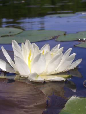 குறிஞ்சிப்பாட்டில் 99 மலர்கள்:பட்டியல் நிறைவு பெற்றது ! White_Flower