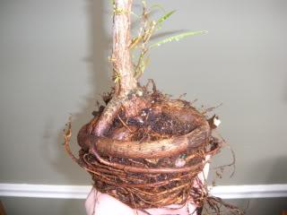 Willow Leaf Ficus 001-66